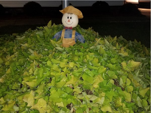 Potato Vines have taken over this little guys space....colors of fall in Southeast Oklahoma