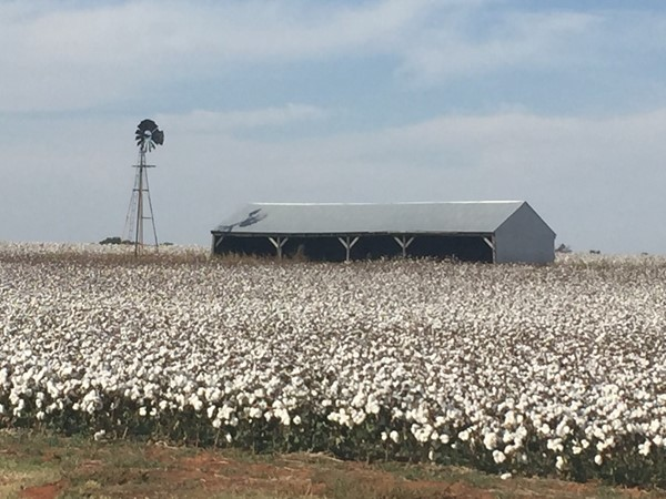 Charming cotton field on the outskirts of Elk City