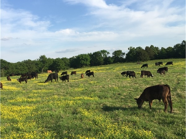 "Turning in on ""greener pastures"". Cattle raising in Southeast Oklahoma"