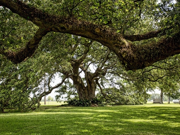 Majestic live oak estimated to be more than 250 years old