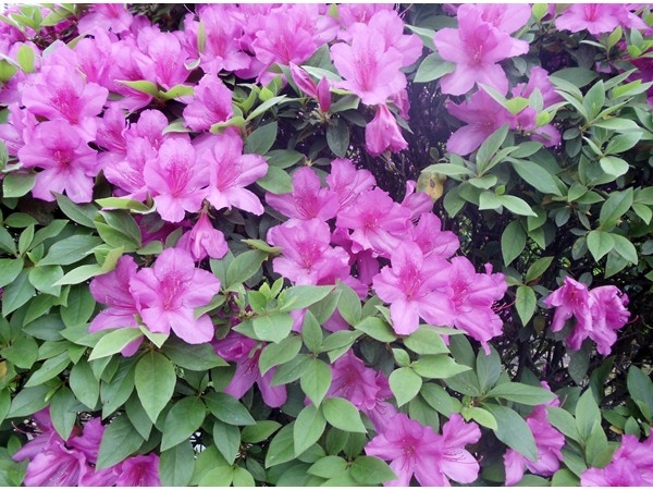 Azaleas in bloom herald the arrival of spring along Carrollton Avenue