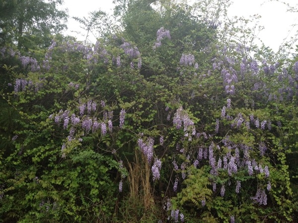 Wisteria abounds during this spectacular season in Mandeville.