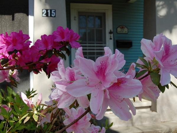 The azaleas are so beautiful in front of the College Town home