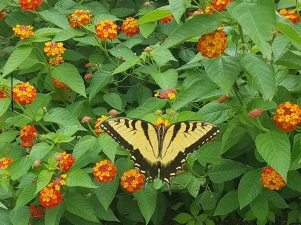Butterfly garden in Summerfield