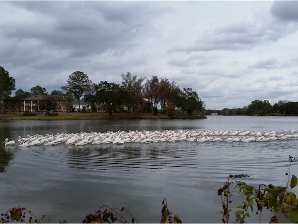 Gorgeous pelicans on LSU lakes