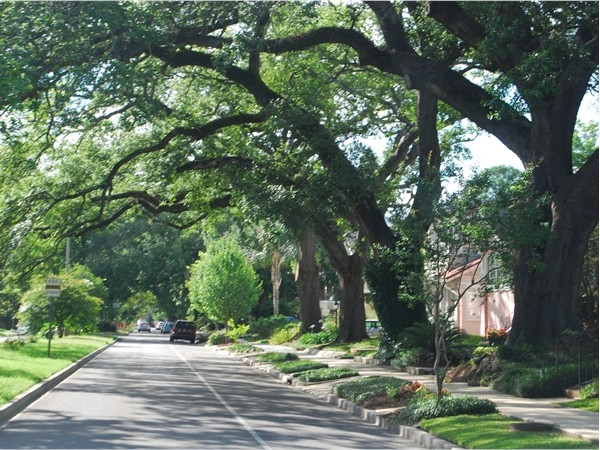 Beautiful old oaks line streets in New Orleans