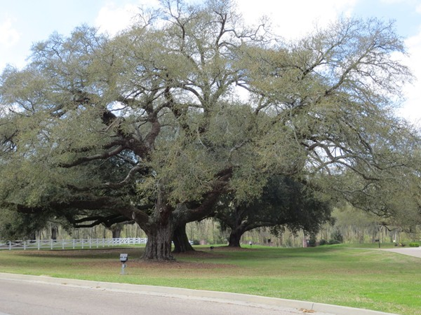 Beautiful oak trees in the Oaks on the Bluff neighborhood