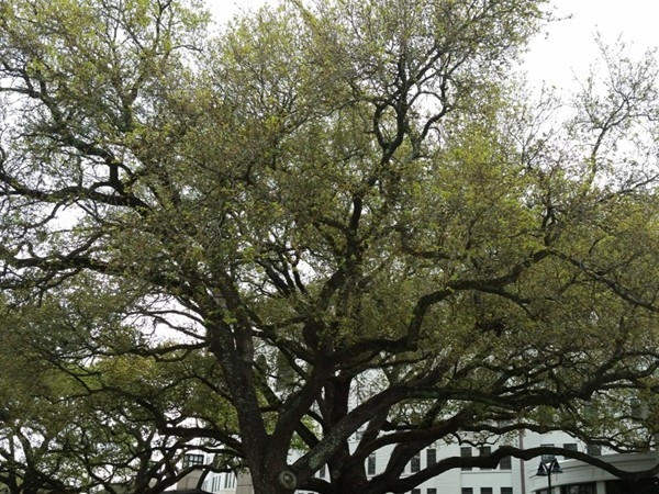 One of LSU's live oaks near Tiger Stadium