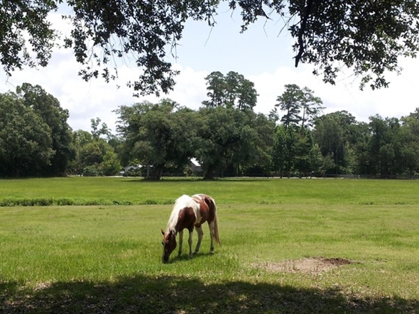 Grazing away the day in the very heart of Old Mandeville