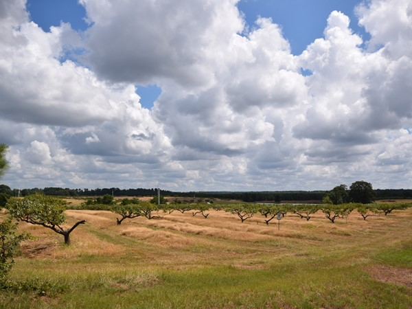 It's a beautiful day at the Mitcham Farms peach orchard