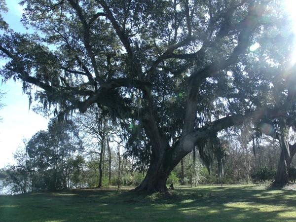 A mighty oak in New Iberia
