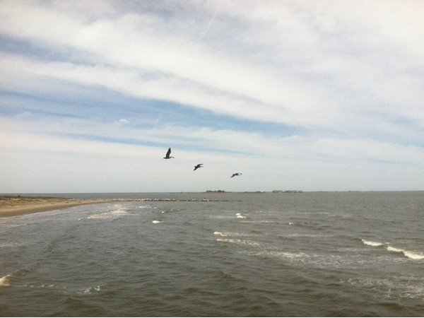The pelican is Louisiana's state bird and they are abundant in Grand Isle State Park!
