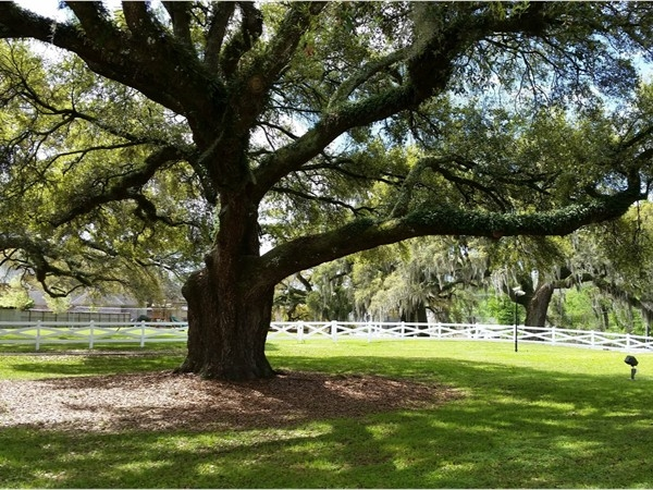 More beautiful live oaks to enjoy in Prairieville