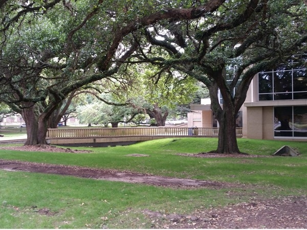Some of the beautiful oak trees that cover LSU's campus