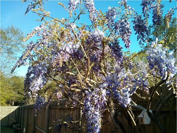 Springtime in Baton Rouge, Chinese wisteria!