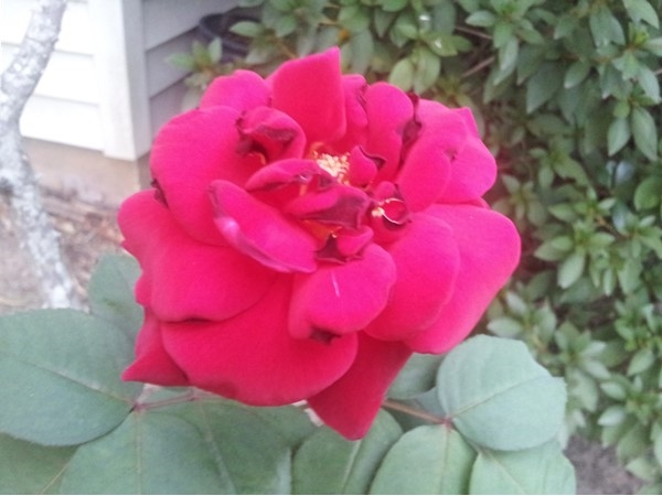 The last rose of a Louisiana summer blooms in ... October