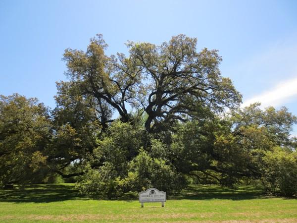 Protected live oak tree