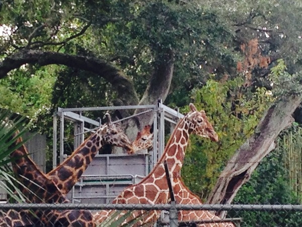 Backstage view of the giraffes at Audubon Zoo