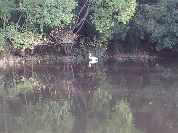 Mirror-image Egret: Pond life in Estates of Northpark