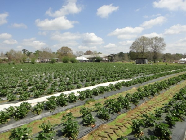 Enjoy a sunny day at Mrs. Heather's Strawberry Patch; kids will love picking their own strawberries