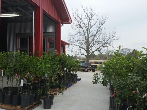 Great citrus and olive trees at Southside Produce on Perkins Road