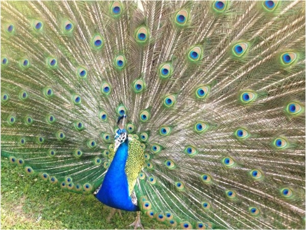 Gorgeous peacock, Viddy, at the Baton Rouge Zoo