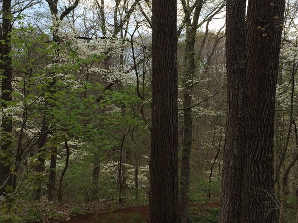 Dogwoods in full bloom!  Spring has sprung on the Crystal Bridges trails