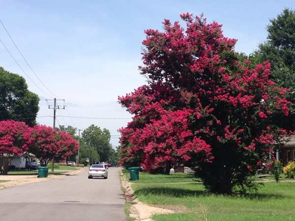Lots of beautiful flowering trees around Russellville