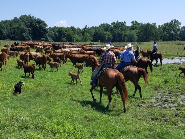 Gathering cattle on a beautiful June day