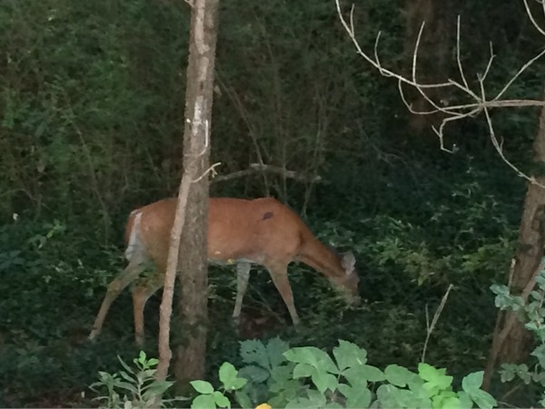 Enjoy the Crystal Bridges trails on a warm August morning with a family of deer