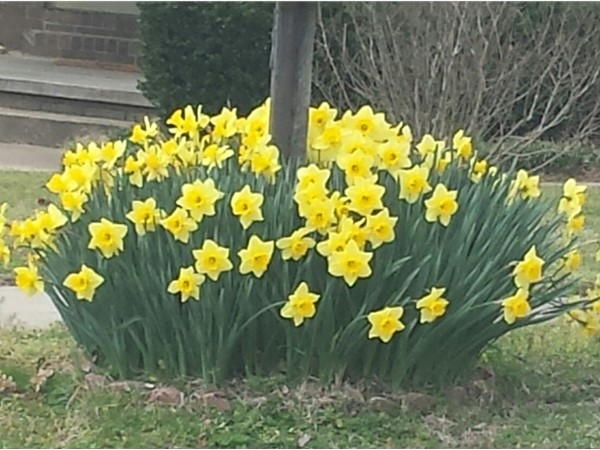 I would like these daffodils around my mailbox