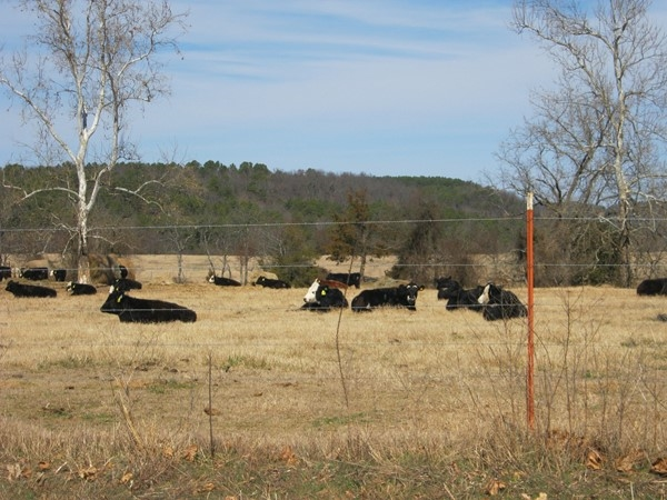 Bald-faced beef herd sunning