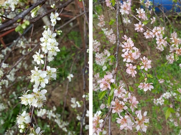 Hadn't noticed that plum blossoms start out white and turn pink.