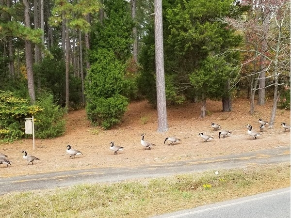 I was driving to the Stonehill subdivision and these guys were all lined up on their way to a pond