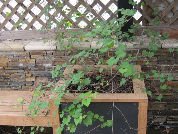 In town or country, Muscadine vines can grow anywhere