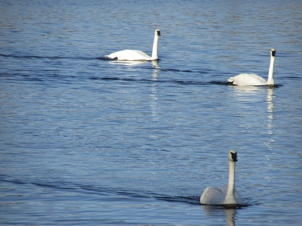 Graceful Trumpeter swans on Magness Lake. They return each winter to lakes east of Heber Springs