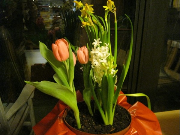 Tulips are finally blooming! 66 degrees on February 18 at 7:00 p.m.
