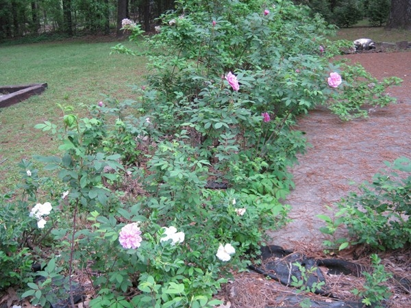 My white rose bushes now are hosting pink ones! First time ever