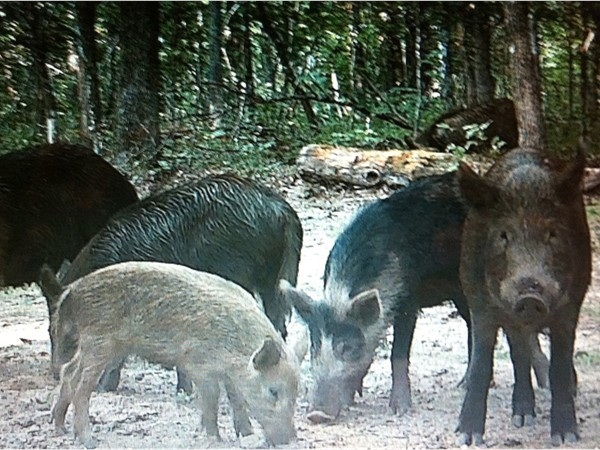 Wild hogs in Arkansas