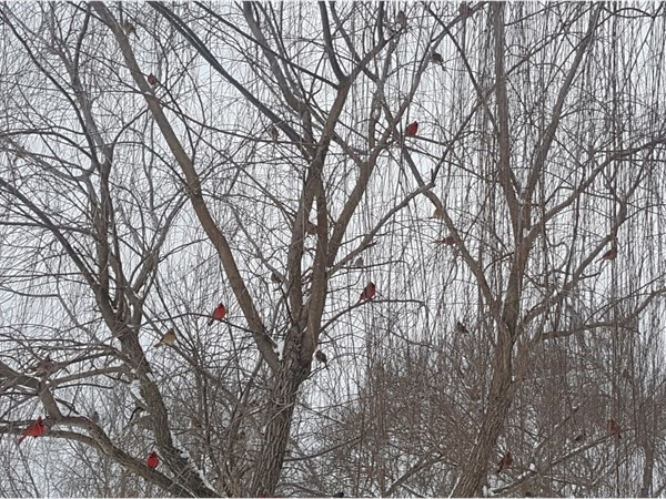 Have you heard when a cardinal visits your yard, you've had a visitor from Heaven