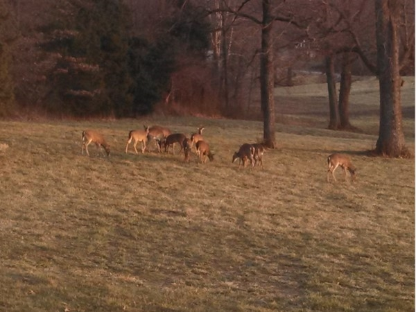 Deer in the backyard in Savannah subdivision