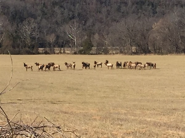 Elk herd just south of St. Joe along Highway 65