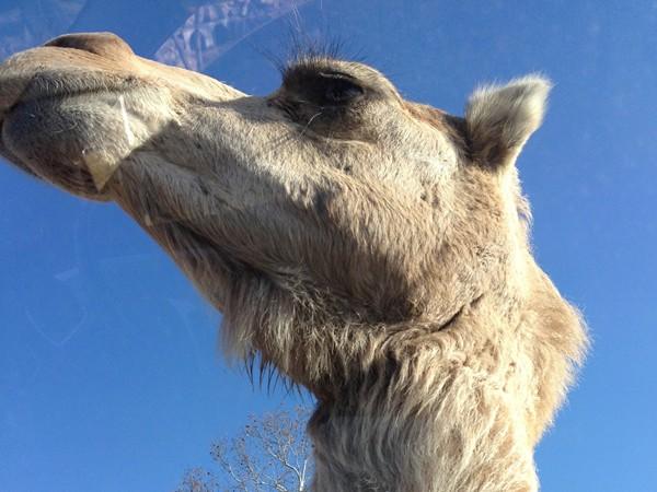 Curious camel at the Wild Wilderness Drive Through Safari