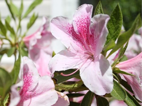 Beautiful spring blooms in Hot Springs Village