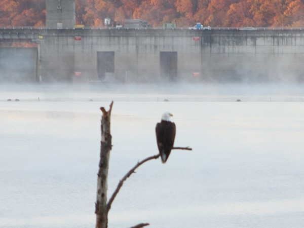 Bald Eagle sighting on Greers Ferry Lake