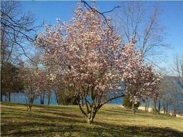 Beautiful tulip tree in Benton County