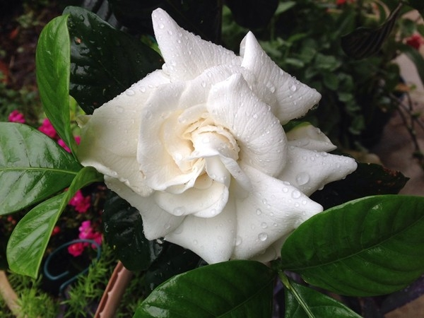 Rain kissed gardenia
