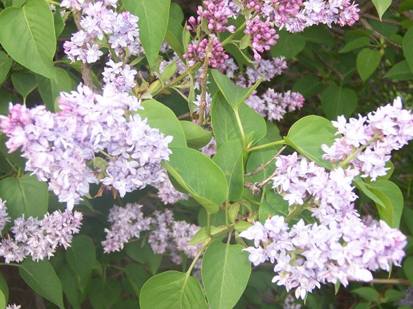 Probably the most popular variety of Lilac of the over 500 varieties in Highland Park
