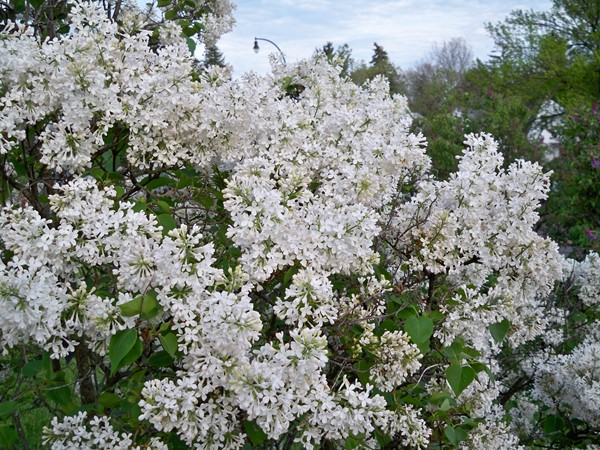 White Lilacs in Highland Park are starting to bloom