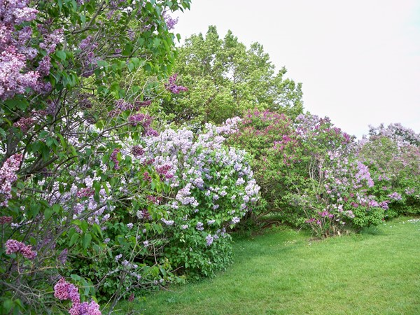 Hundreds of lilacs in Highland Park in May